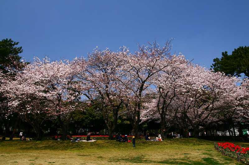 s-桜両郡橋中央公園20080403 084