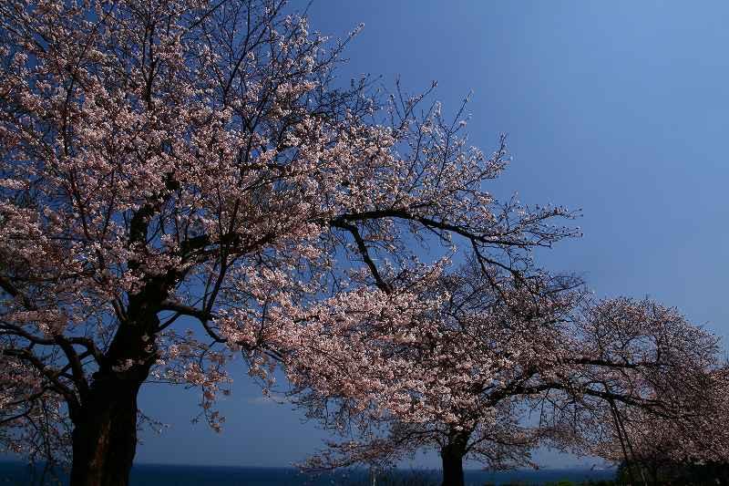 s-桜両郡橋中央公園20080403 049