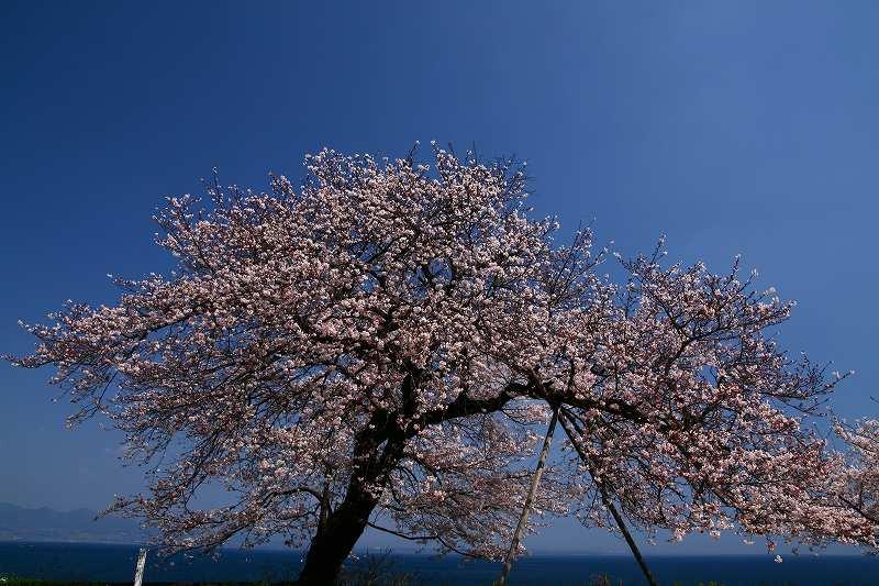 s-桜両郡橋中央公園20080403 006