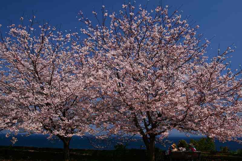 s-桜両郡橋中央公園20080403 018