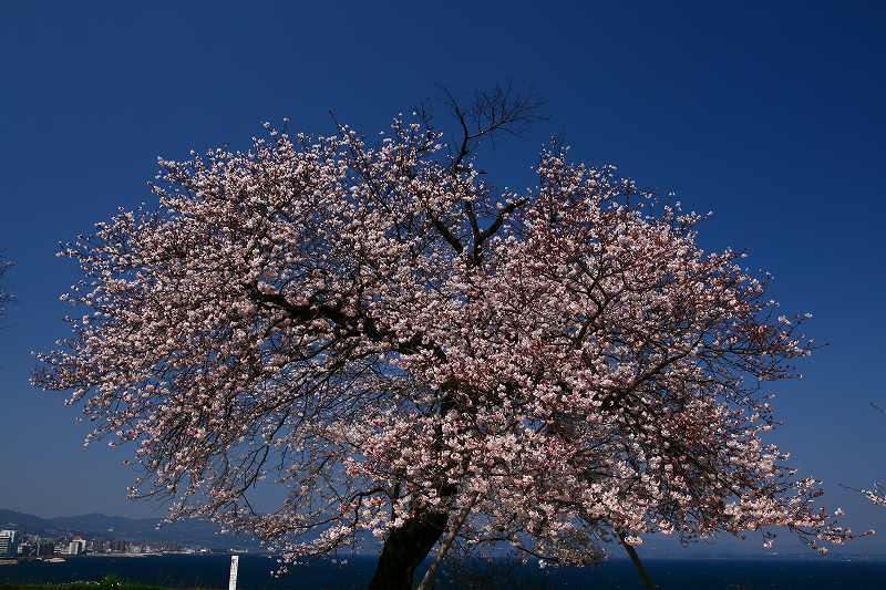 s-桜両郡橋中央公園20080403 099