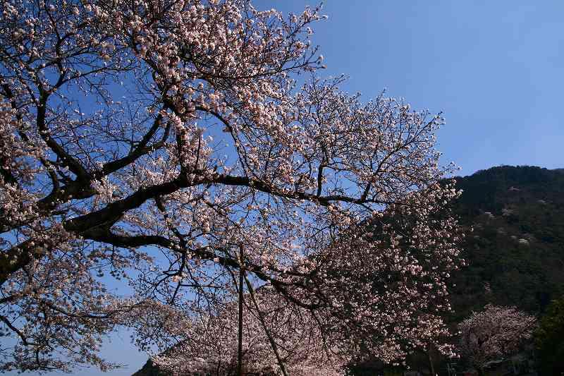 s-桜両郡橋中央公園20080403 132