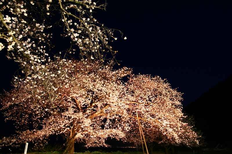 s-桜両郡橋中央公園20080403 183