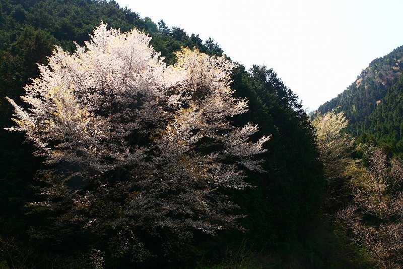 s-桜野津原20080411 006