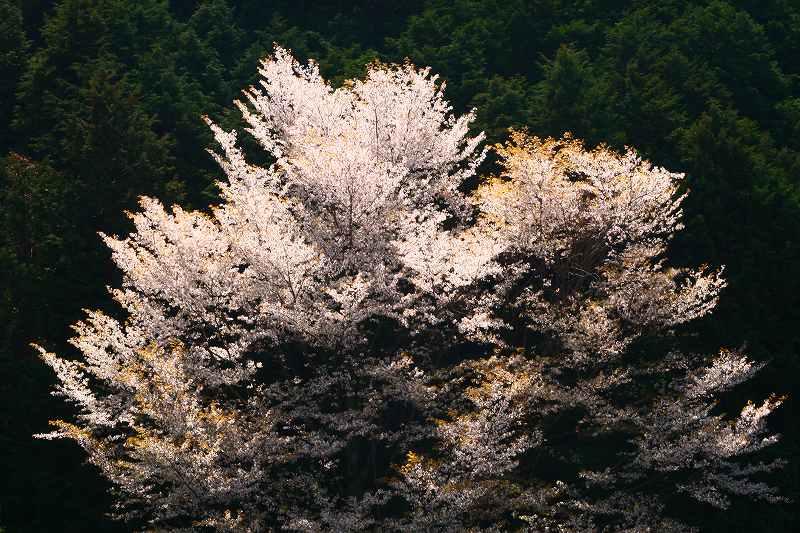 s-桜野津原20080411 017
