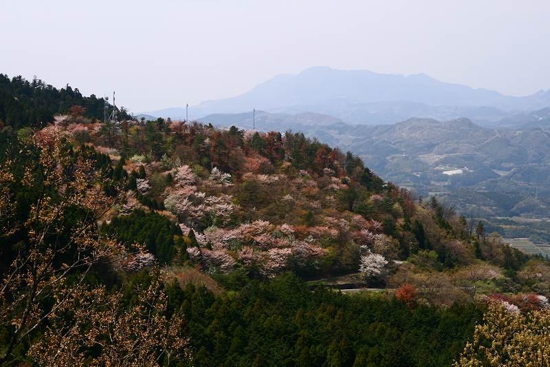 s-桜野津原20080411 026