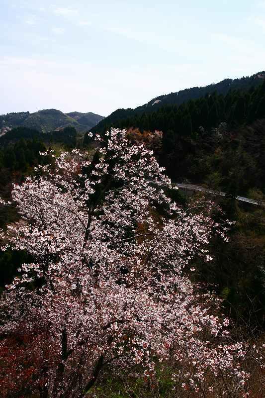 s-桜野津原20080411 031