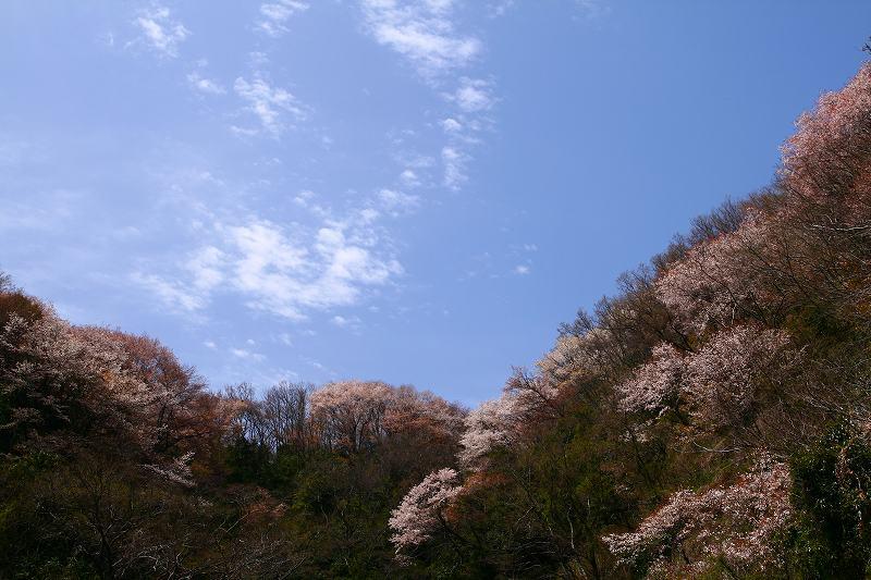 s-桜野津原20080411 035