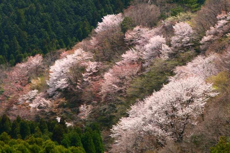 s-桜野津原20080411 053