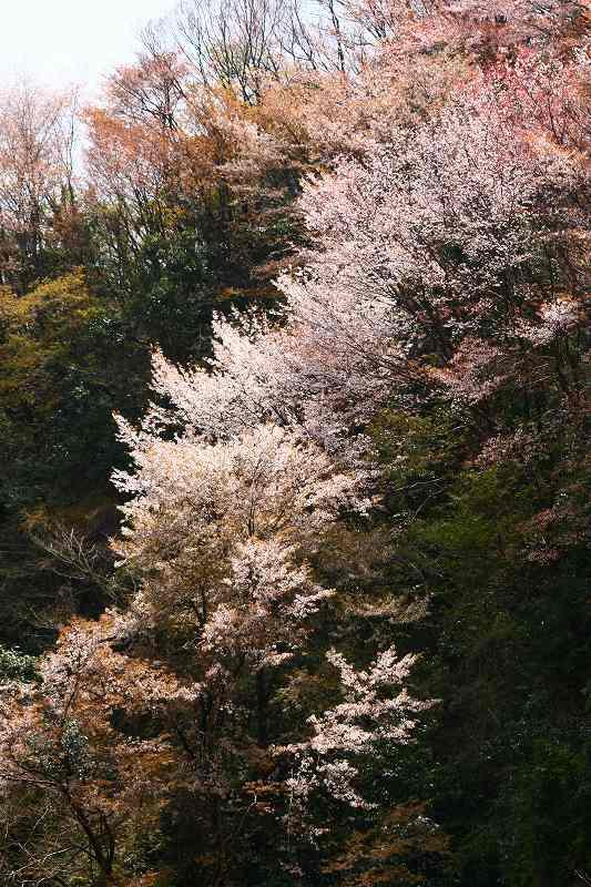 s-桜野津原20080411 062