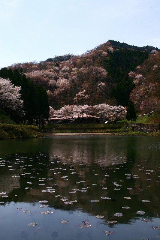 s-桜野津原20080411 082