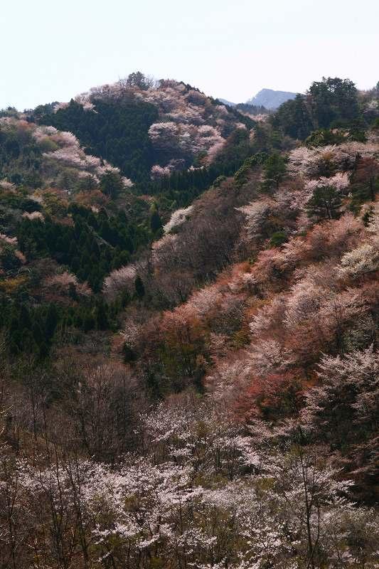 s-桜野津原20080411 095