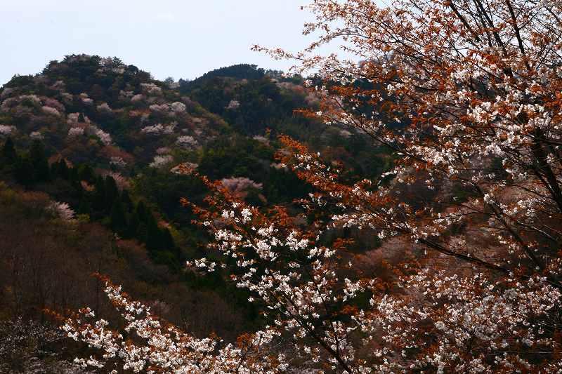 s-桜野津原20080411 096