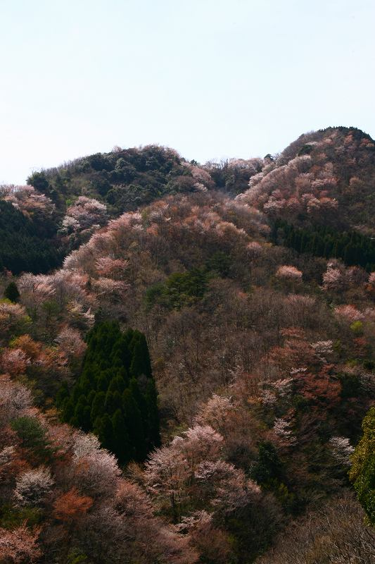 s-桜野津原20080411 103