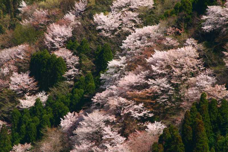 s-桜野津原20080411 124