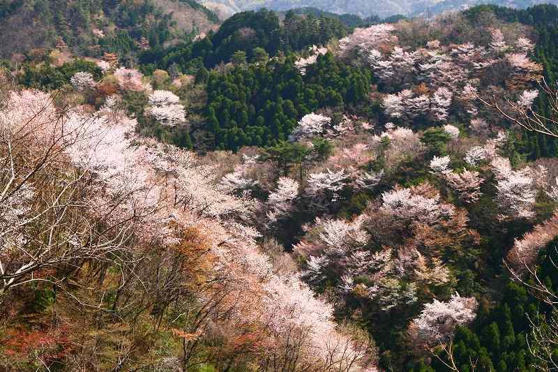 s-桜野津原20080411 126