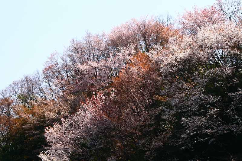 s-桜野津原20080411 128