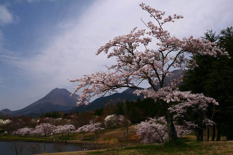 s-桜志高湖湯布院0080412 036