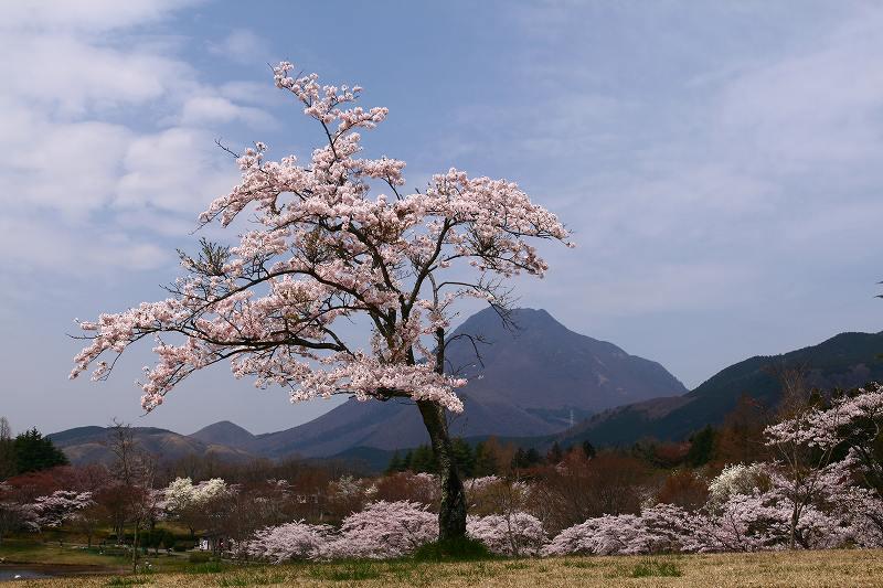 s-桜志高湖湯布院0080412 051
