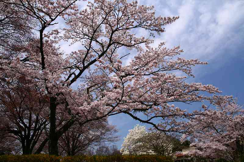 s-桜志高湖湯布院0080412 067