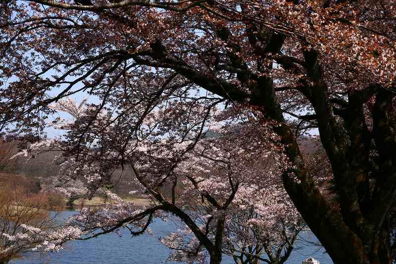 s-桜志高湖鶴見山0080415 015