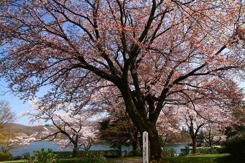 s-桜志高湖鶴見山0080415 020