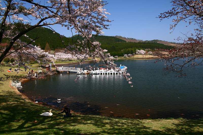 s-桜志高湖鶴見山0080415 033