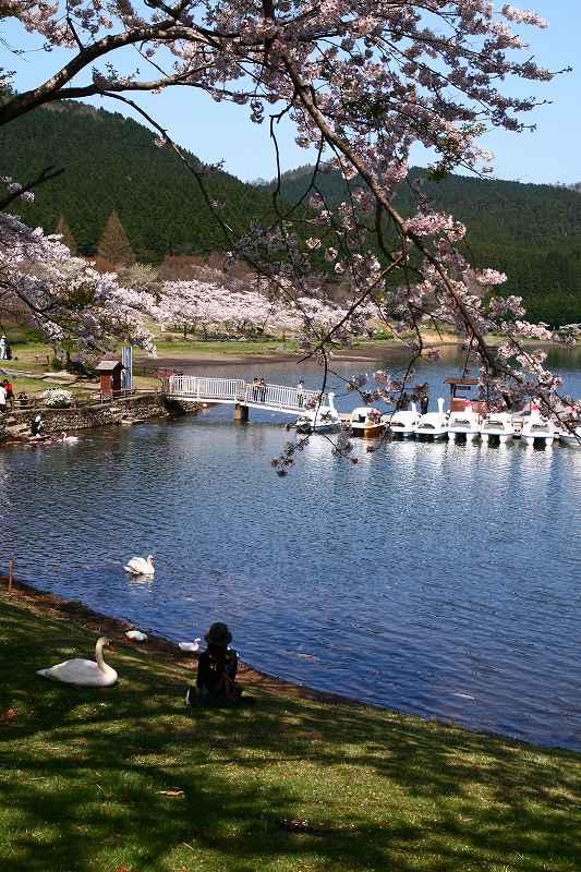 s-桜志高湖鶴見山0080415 037
