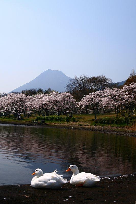 s-桜志高湖鶴見山0080415 052