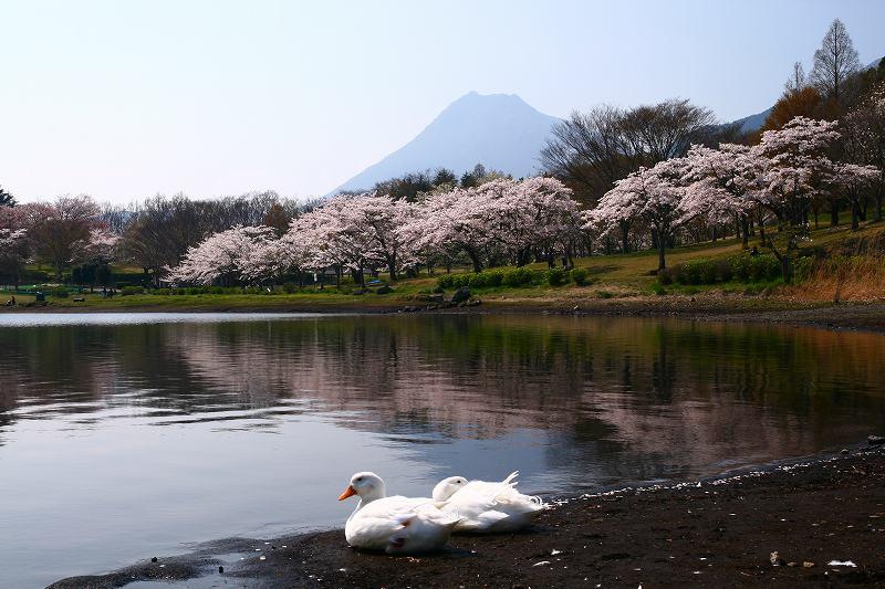 s-桜志高湖鶴見山0080415 068