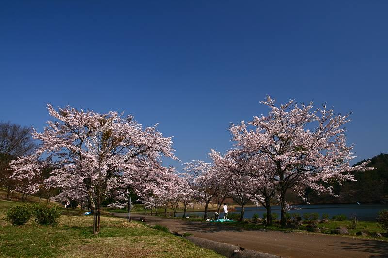 s-桜志高湖鶴見山0080415 079