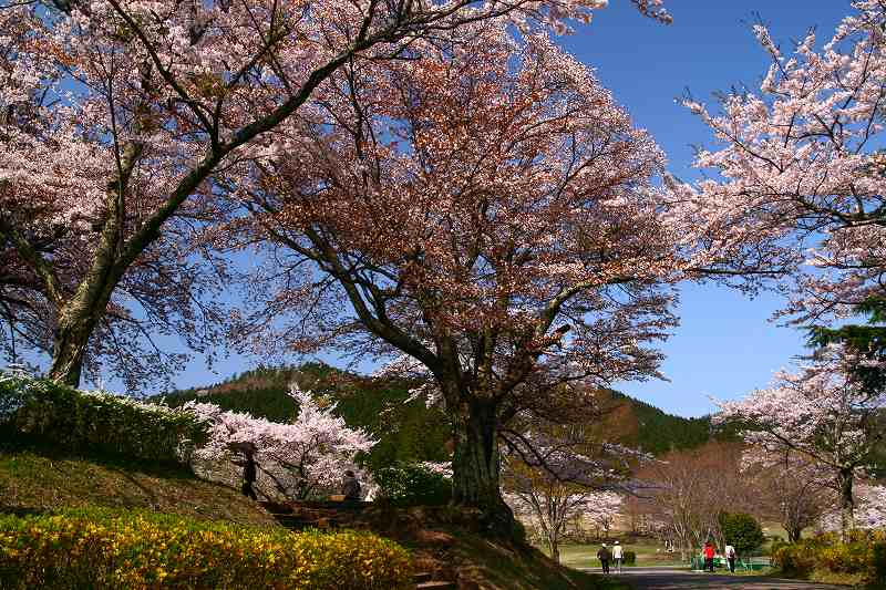 s-桜志高湖鶴見山0080415 113