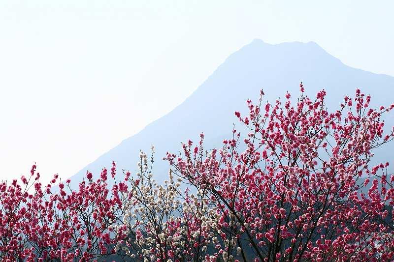 s-桜志高湖鶴見山0080415 132