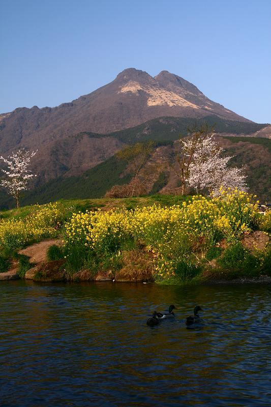 s-桜志高湖湯布院0080412 179