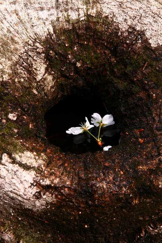 s-桜由布岳女20080420 030