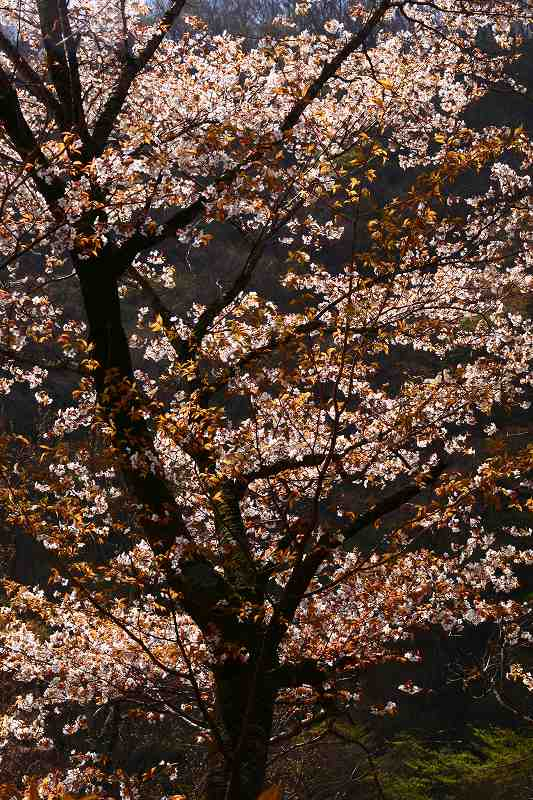 s-桜由布岳女20080420 049