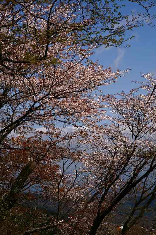 s-桜由布岳女20080420 116