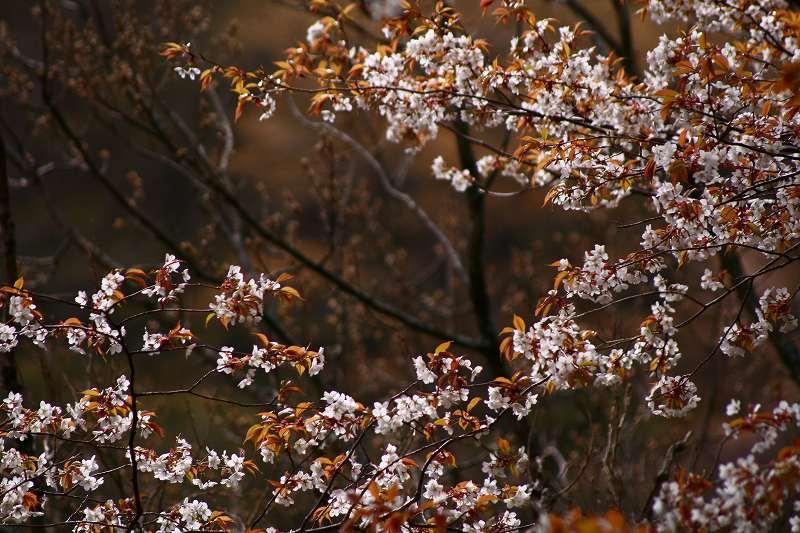 s-桜由布岳女20080420 051