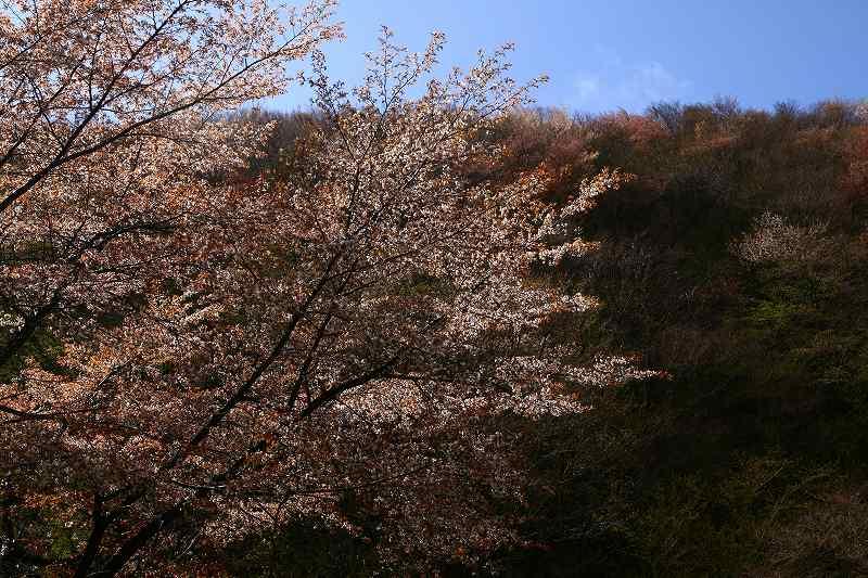 s-桜由布岳女20080420 060