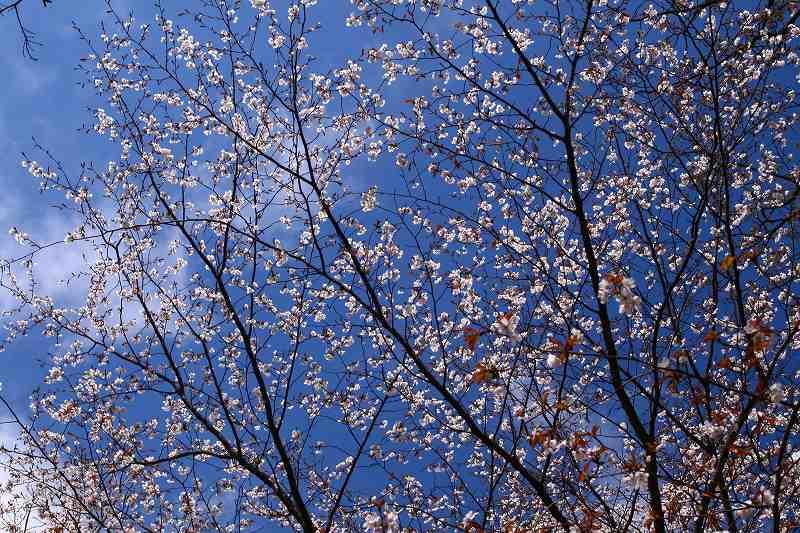 s-桜由布岳女20080420 133