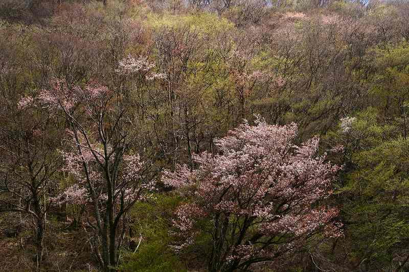 s-桜由布岳女20080420 180