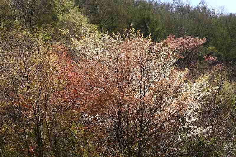 s-桜由布岳女20080420 187