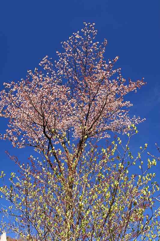 s-桜由布岳女20080421 109