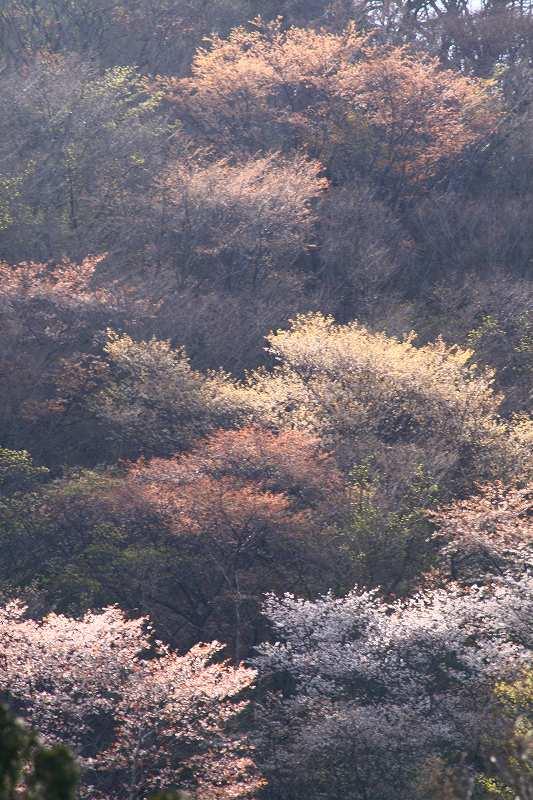 s-桜由布岳女20080421 197