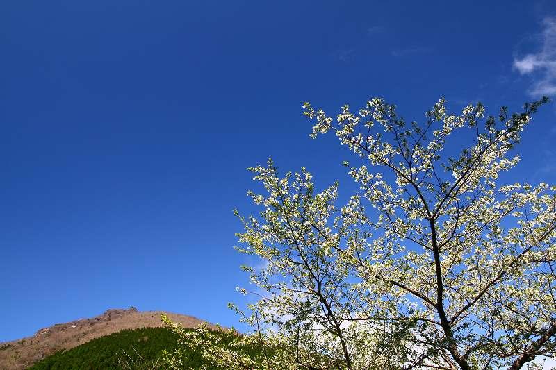 s-桜由布岳女20080421 114