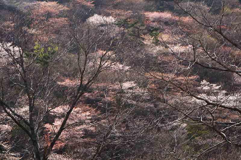 s-桜由布岳女20080421 200