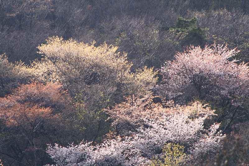 s-桜由布岳女20080421 201