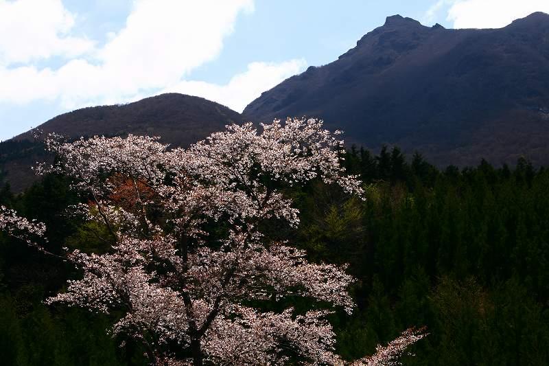 s-桜由布岳女20080421 132