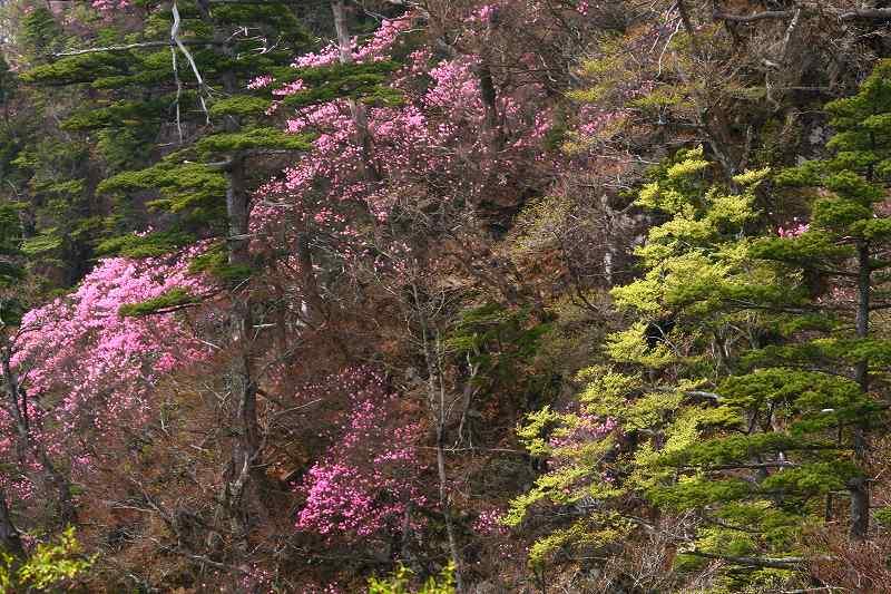 s-傾山杉ケ越20080506 206
