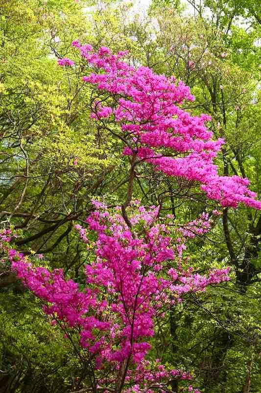 s-傾山杉ケ越20080506 279